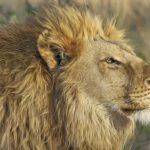Sanovnik lav – Šta znači sanjati lava?