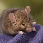 Sanovnik miš – Šta znači sanjati miša?