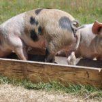 Sanovnik svinja – Šta znači sanjati svinju?