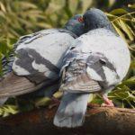 Sanovnik golub – Šta znači sanjati goluba?
