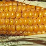 Sanovnik kukuruz – Šta znači sanjati kukuruz?