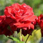 Sanovnik ruža – Šta znači sanjati ružu?