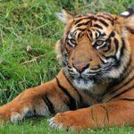 Sanovnik tigar – Šta znači sanjati tigra?