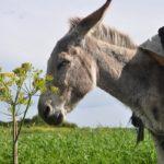 Sanovnik magarac – Šta znači sanjati magarca?
